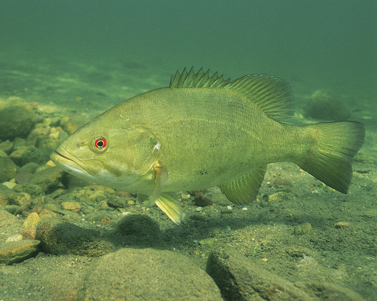 Life history of smallmouth bass